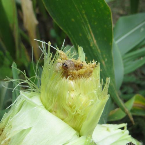 Western bean cutworm larva on corn